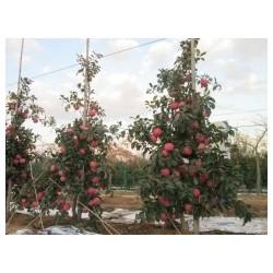 高纺锤形果树苗
