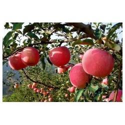 红嘎啦苹果
