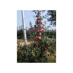 矮化苹果苗