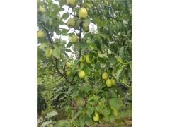 鸭梨果树苗