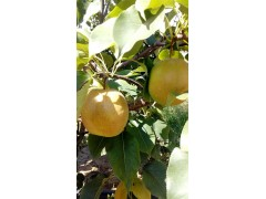梨苗新品种